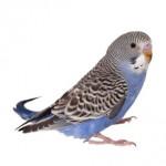 Vögel als Heimtiere