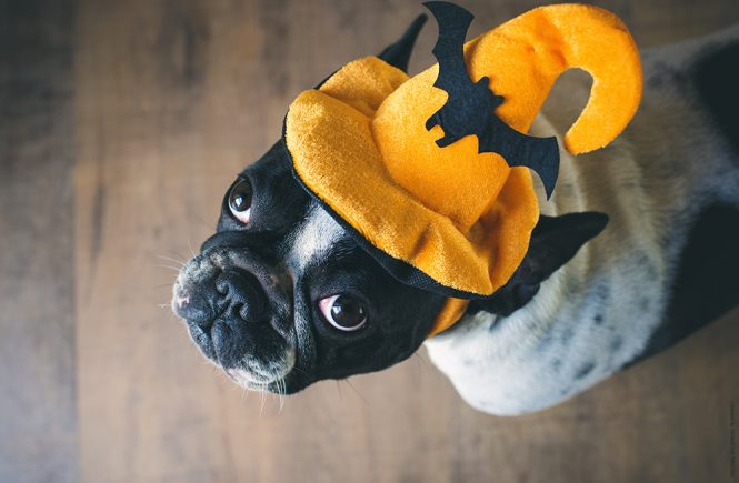 Portrait of French bulldog with hat halloween
